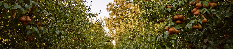 Farm-To-Fork California Pears
