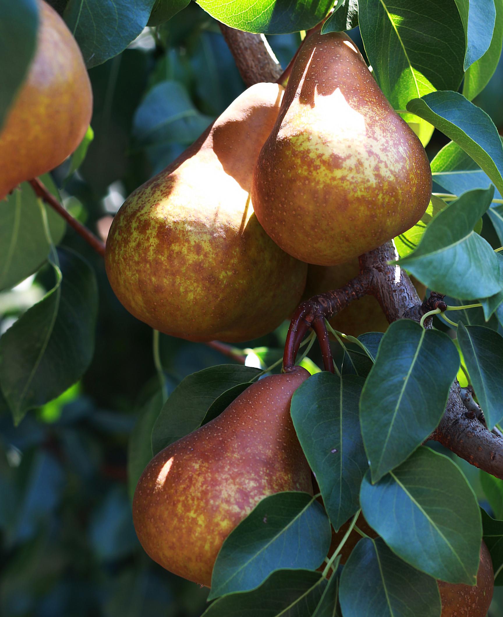 paleo-paparazzi-california-pear-farm