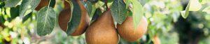 California grown bosc pear tree orchard