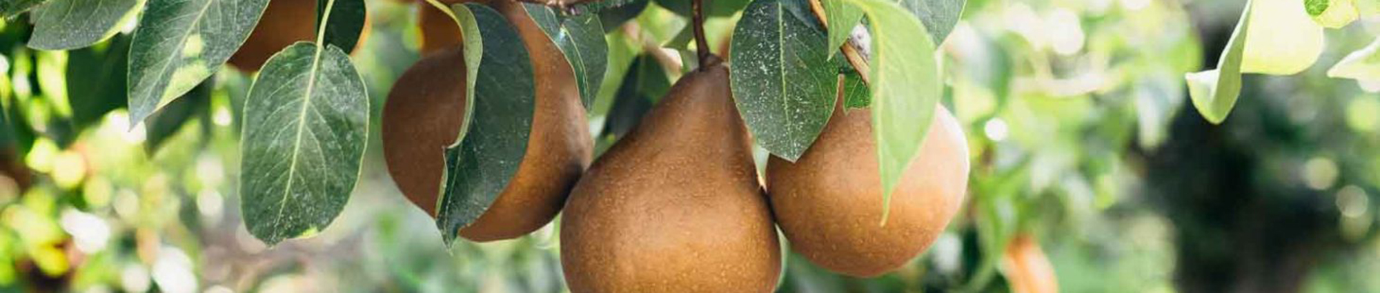 California grown bosc pear tree orchard