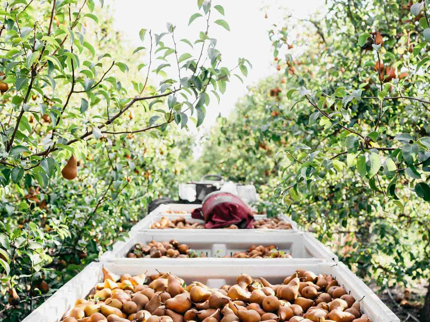 California Bosc pear tree orchard harvesting