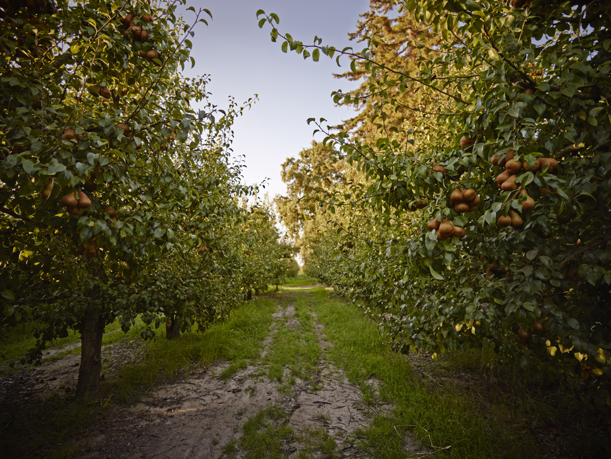 Pear Orchards – California Pears