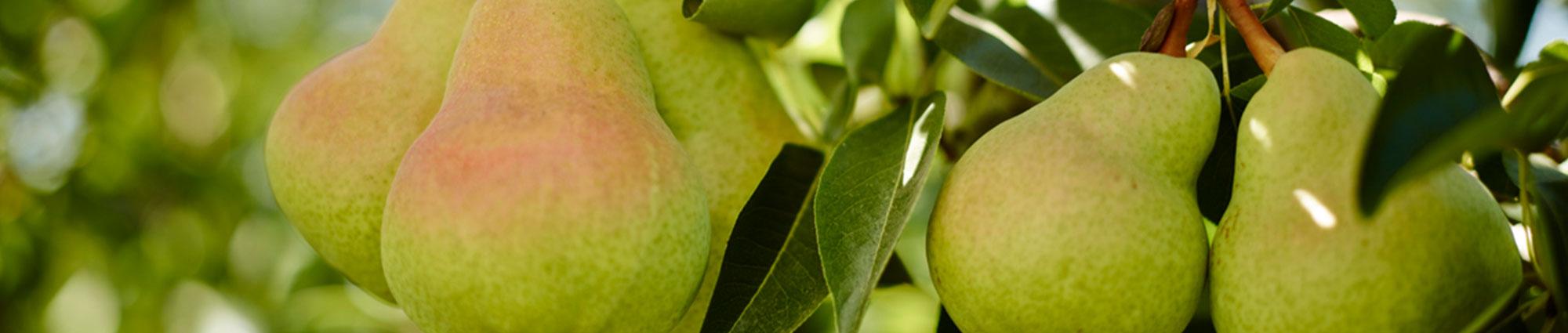 A Delicious Start To Pear Season